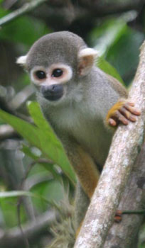 A squirrel monkey in a tree