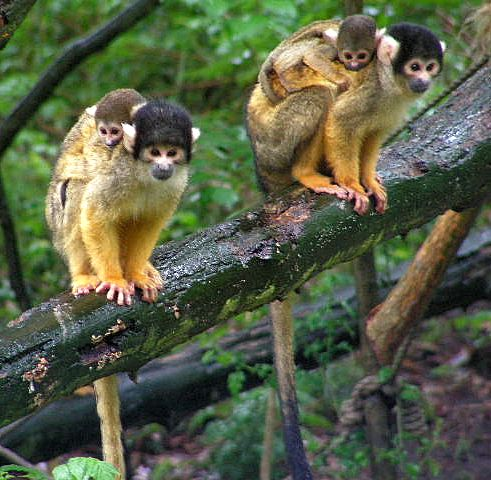 A squirrel monkey family searching for its prey