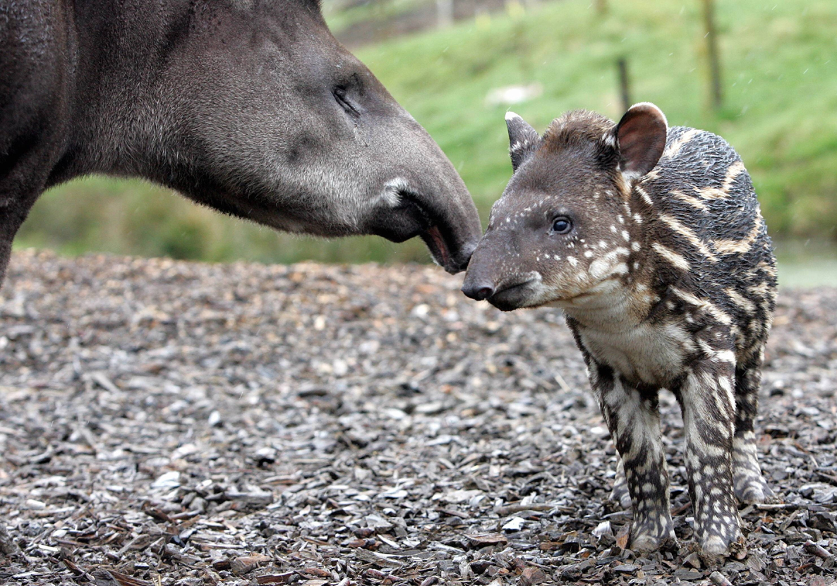 mother tapir with her baby