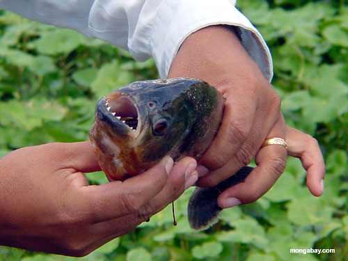 Wildlife of the rainforest licensed for non commercial for Pictures of piranha fish
