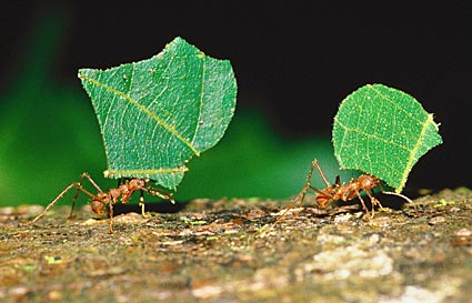 leaf cutter ants carring leafs