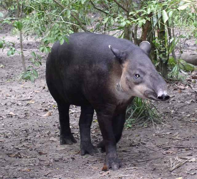 tapir browsing